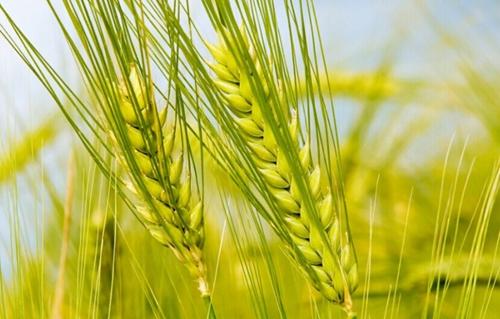 小麦粒手工制作大全图片大全